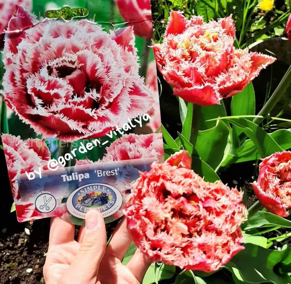 Луковицы тюльпана Brest — неприхотливый сорт весенних цветов