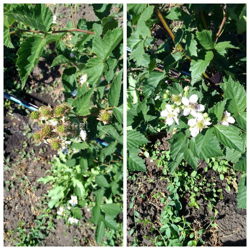 Адаптивність нових сортів ожини до умов вирощування в сучасних ягідних плантаціях