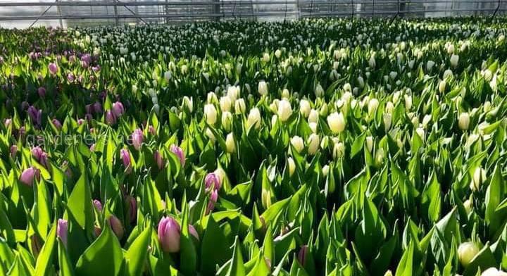 Тюльпан - символ весны