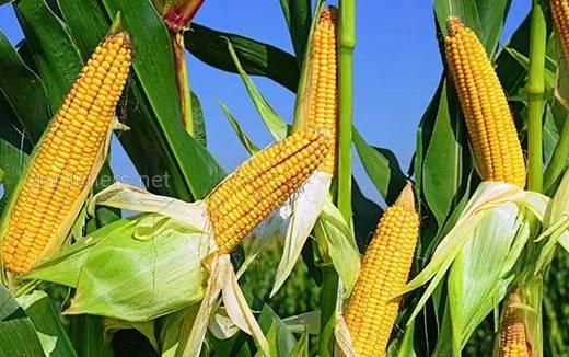 Совка хлопковая - опасный вредитель кукурузы!