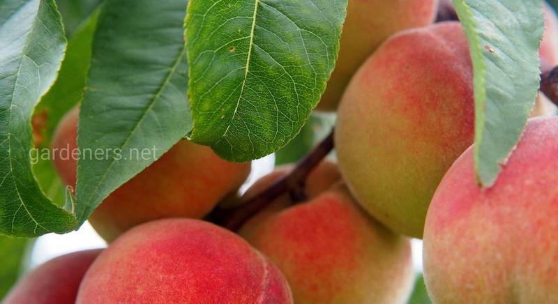 Как обрезать персик весной, летом и осенью: правила, пошаговые инструкции и рекомендации