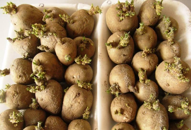 Як правильно проростити розрізані бульби картоплі?