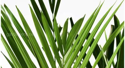 Хризалидокарпус, арека или дипсис: как разобраться в сортах и видах этой элегантной пальмы