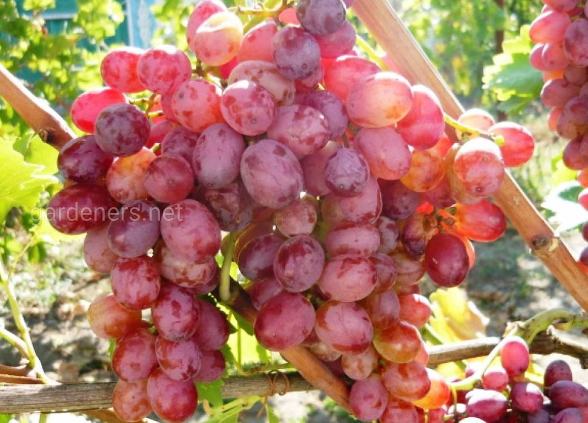 Виноград Скарлетт