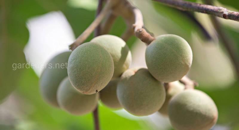 Свічкове дерево або кемірі, житель тропічних островів