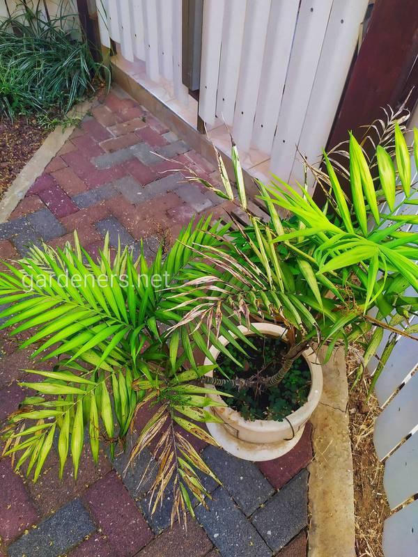 Які проблеми можуть виникнути при вирощуванні кокосової пальми?
