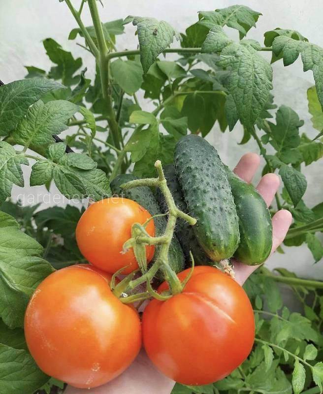 Вкусные условия для вкусных томатов