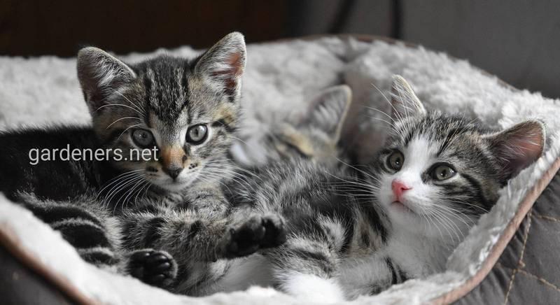 Виховання кошеняти