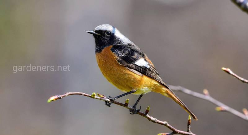 Певчая птица горихвостка