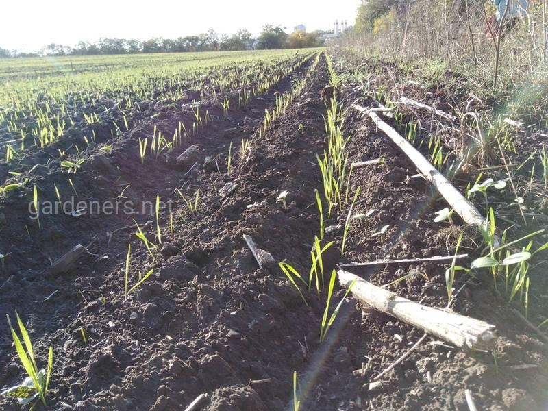 Чому спостерігається зниження врожайності пшениці при пізньому посіві?