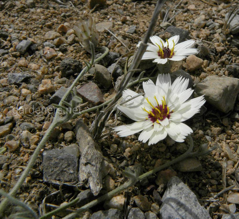 Catananche arenaria