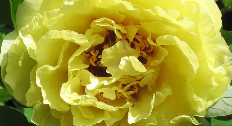 Пионы ито-гибриды: классификация сортов по цветам