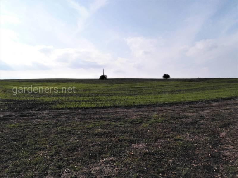 Осіннє підживлення пшениці: коли вносити та скільки необхідно поживних речовин?