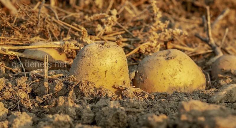 ТОП-8 способів посадки картоплі: традиційні та інноваційні методи