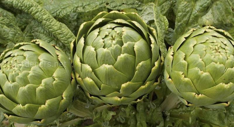 Зачем сажать многолетние овощи в саду?