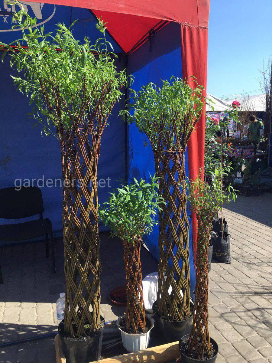 Willow – декоративная ива с плетёным стволом