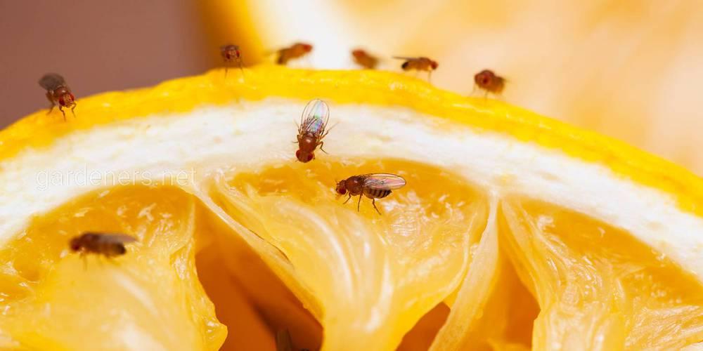 Плодовые мухи