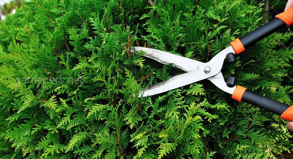 Ниваки: мастер-класс по стрижке деревьев