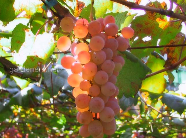 Распространенные сорта винограда для хранения
