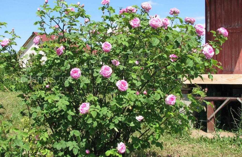 роза Васагарнин