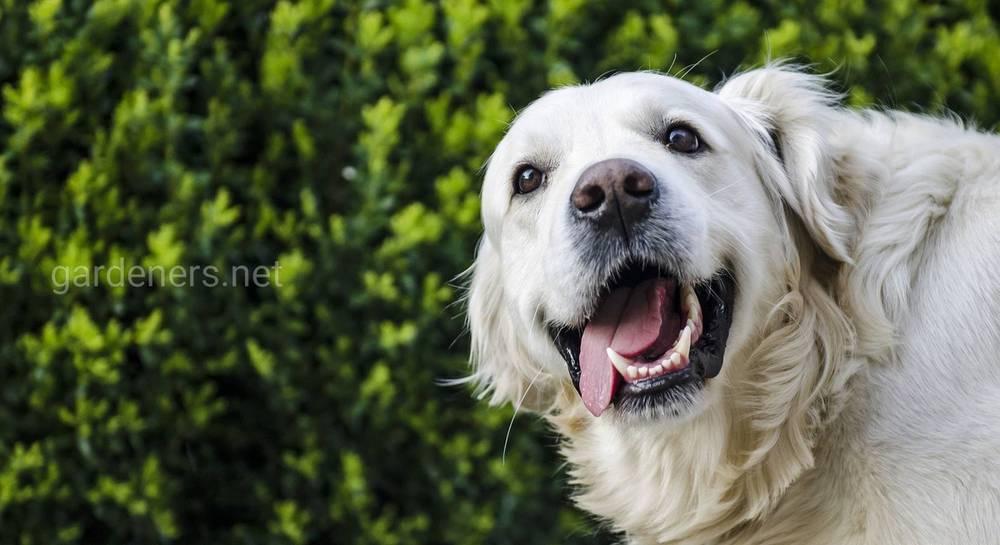 Собака зубы