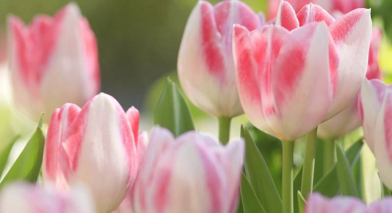 Правила посадки тюльпана осенью