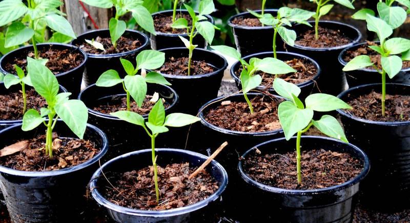 Выращивание рассады болгарского перца в теплице