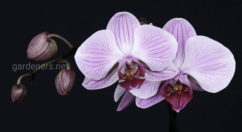 Орхидеи рода Фаленопсис