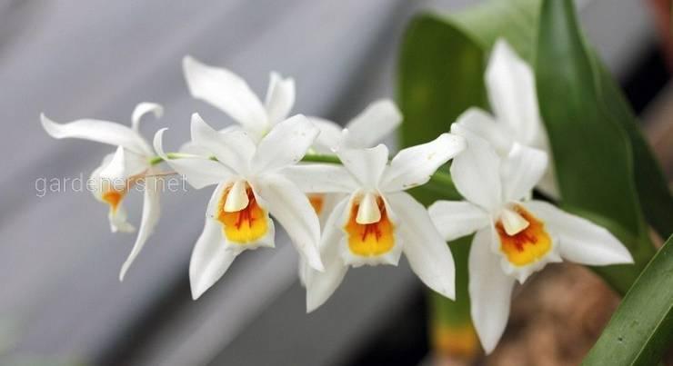 Орхидея Целогина: уход и удобрение