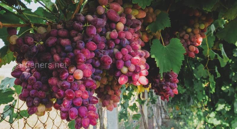 Как работает виноградарь? Из разговора с агрономом Кетрой Андреем Александровичем