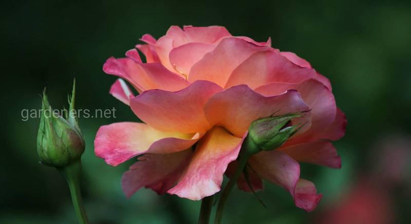 Как защитить розы зимой?