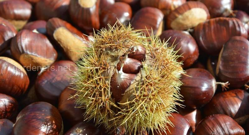 Каштан съедобный - вкусное лекарственное растение!