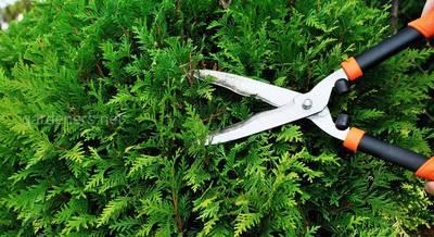 стрижка хвойных растений.jpg