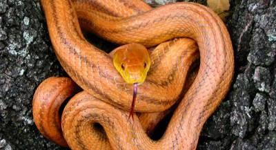 Змея Крысиный полоз Росса Аллена