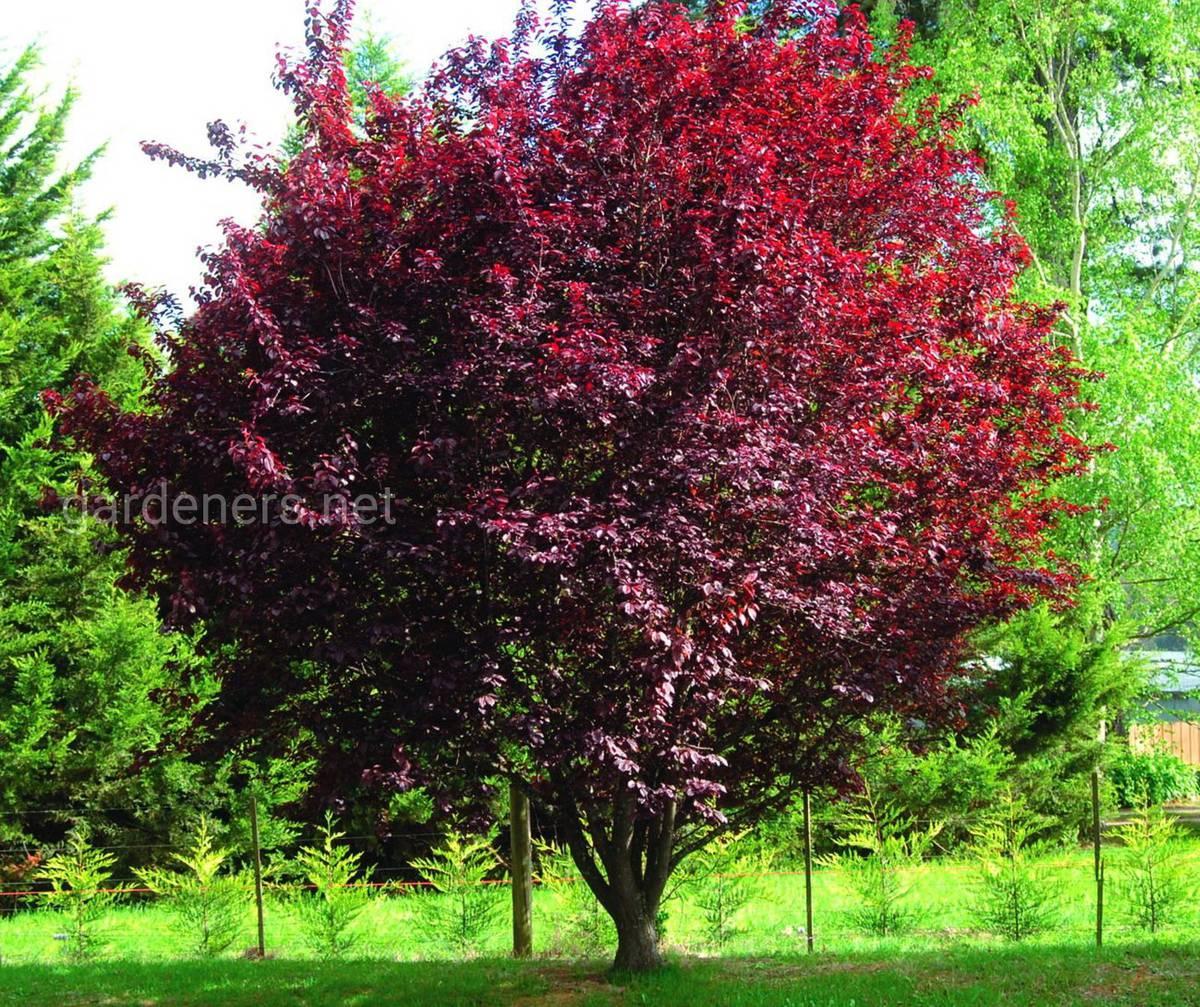 Cerasifera Plum nigra