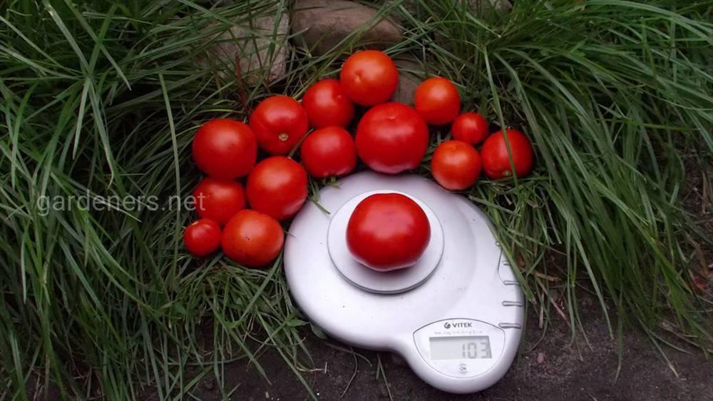Кращі сорти томатів за підсумками поточного року