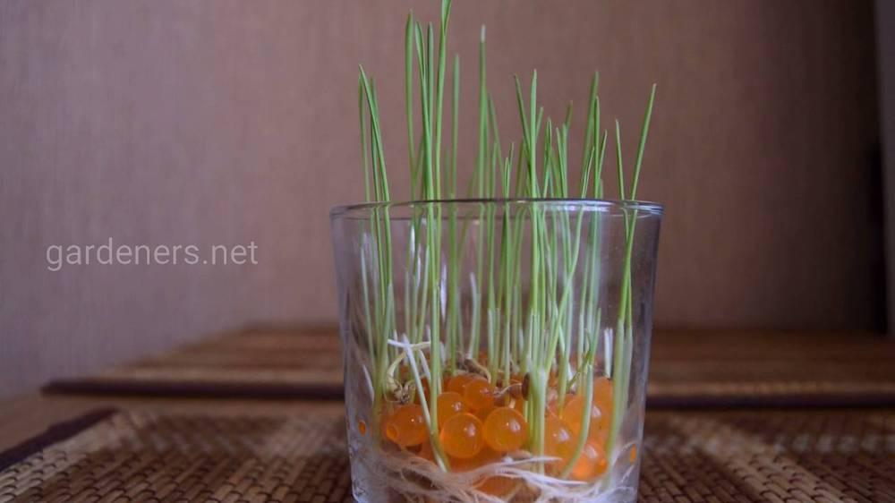 микрозелень  в гидрогеле