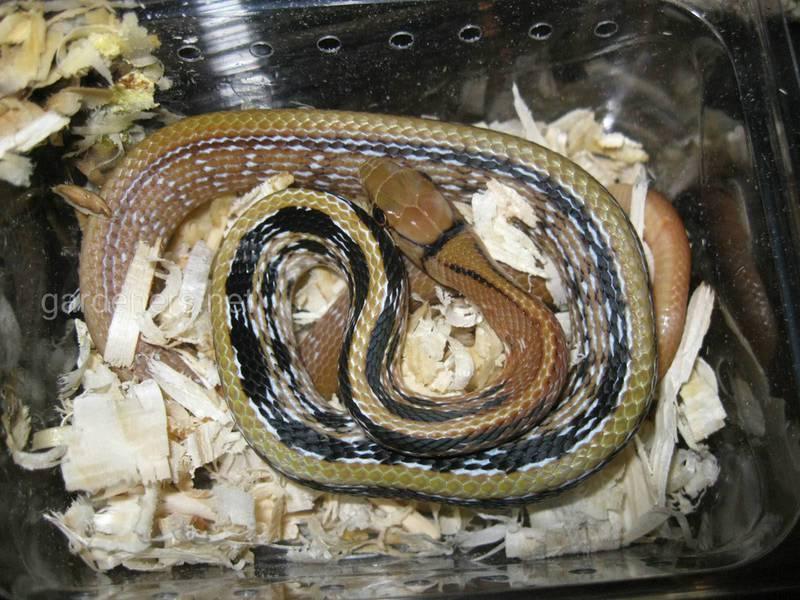 Змея Лучистый полоз