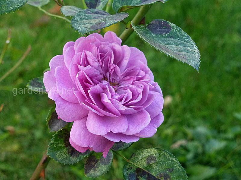 Які виділяють види троянд?