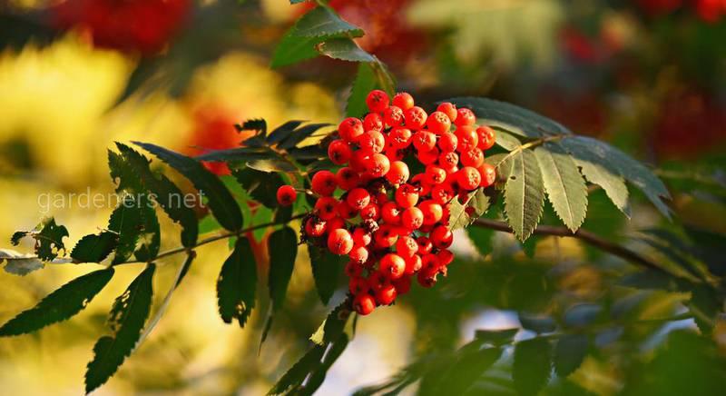 Польза рябины: путеводитель по лекарственным свойствам городской ягоды