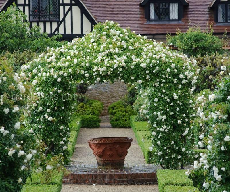 Живые изгороди из роз своими руками