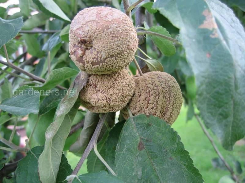 Как предотвратить и бороться с монилиозом косточковых плодов?