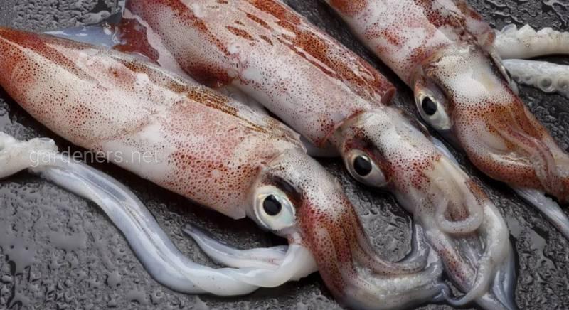 14 цікавих фактів про кальмарів