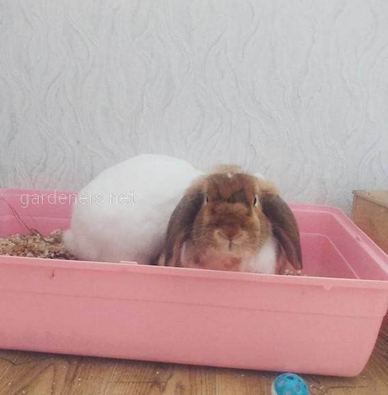 Обучение ручного кролика чистоплотности
