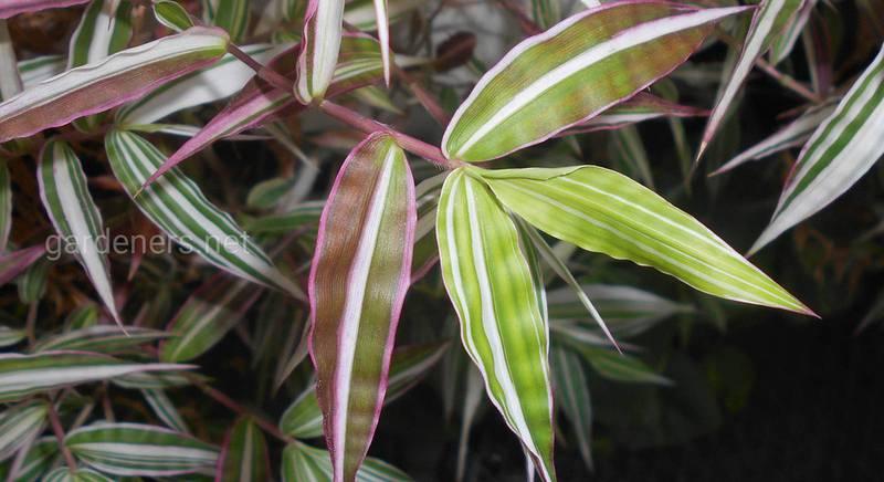 Оплисменус или остянка: обзор видов экзотической злаковой травы для комнатного выращивания