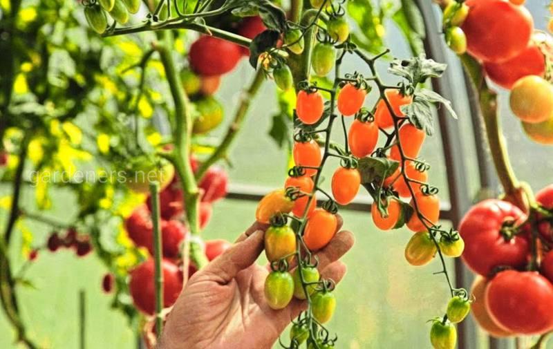 Как  правильно прищипывать, подвязывать и собирать помидоры черри?