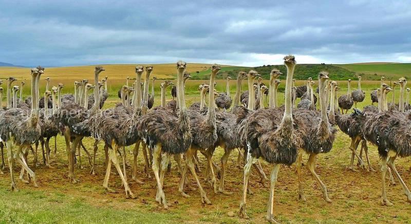 Розведення страусів у домашніх умовах