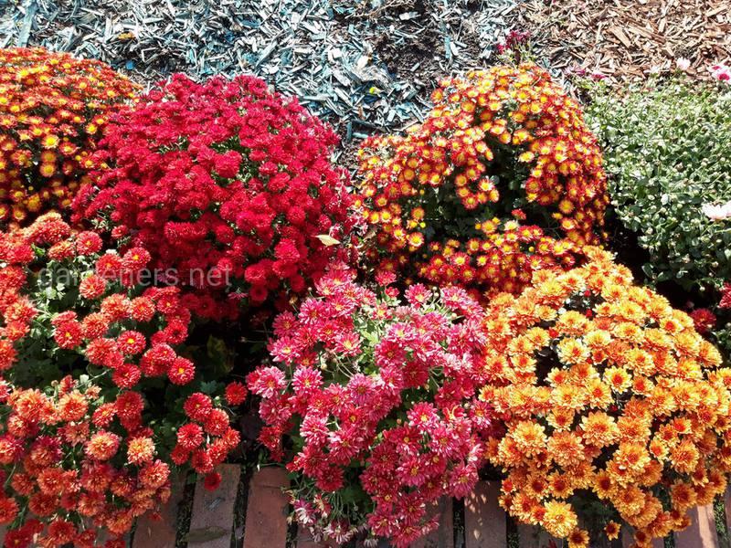 Топ-7 цікавих фактів про хризантеми