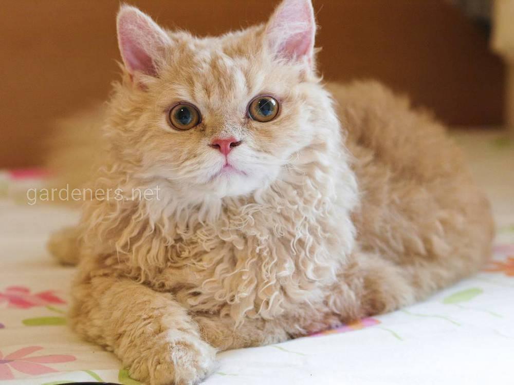 Селкирк-рексы или кудрявые коты