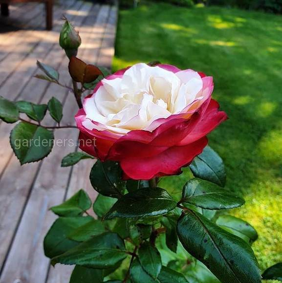 Rosa Nostalgie